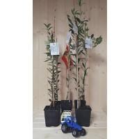 Planta de Olivo Variedad Hojiblanca