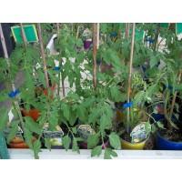 Planta de Tomate Robin en Bandeja de 12 Unidades