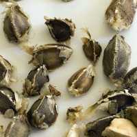 Semillas de Moringa Oleifera - Arbol de la Vida