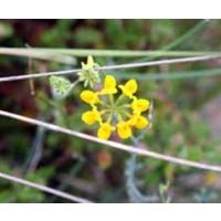 1 Planta de Coronilla Juncea - Coronilla. en