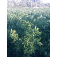 Alfalfa en Rama para Alimentación Animal