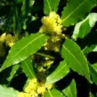 Laurel (Laurus Nobilis). 100 Semillas.