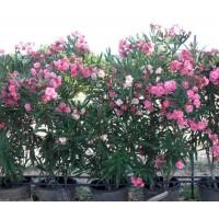 Plantas de Adelfa para Seto a 0,50 E.u.
