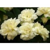 Rosa Banksiae Alba Plena Rd