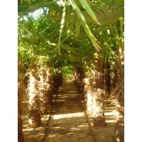Trachycarpus Fortunei . Chamaerops Excelsa