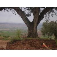 Olivos rboles arbustos y setos jardiner a - Compra de olivos centenarios ...