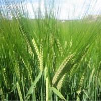 Centeno (Secale Cereale) 5Kg Semilla Ecológica para Siembra