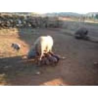 Cerdos Reproductores Ibéricos