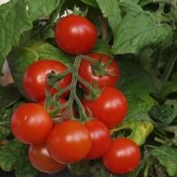 Pack de Tomates para Maceta