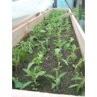 Plantas de Stevia Variedad Eirete