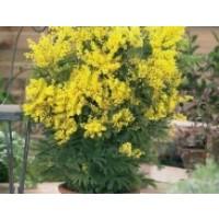Flores Naturales de Mimosas, Producto Nacional