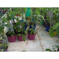 Planta Berenjena Redonda en Maceta de 9 Centímetros