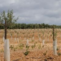 Protectores para Plantones de Olivo, Almendro, Pistacho,frutales...