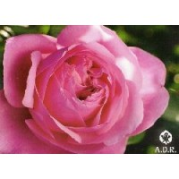 Rosa Line Renaud Meiclusif Ct