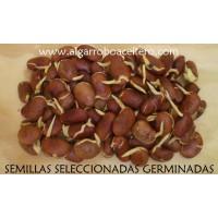 Semillas de Algarrobos Aceiteros (Pongamia Pinnata). el Árbol del Agrodiesel Sostenible del Futur...