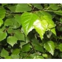 Planta de Haya en Formato Forestal