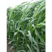 Semilla Pasto del Sudán (Piper)