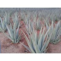 Hojas y Plantas de Aloe Vera