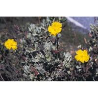 Planta de Jara Halimium Atriplicifolium. Altu