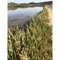 Seaweed Esparragos de Mar (Hierva Salada) Salicornia