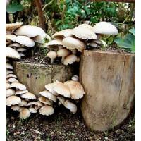 20 Pellets con Micelio de Seta de Chopo (Agrocybe Aegerita). Cultivo en Troncos