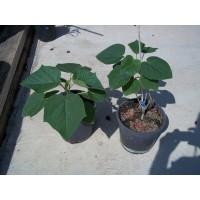 Arbol de Paulonia Tormentosa en Maceta de 14 Cm-Caja 10 Plantas