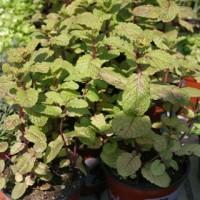 Hierbabuena / Herbasana en Maceta de 14 Centímetros