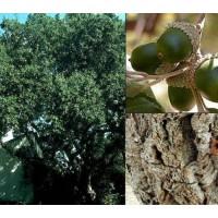 1 Planta de Quercus Suber - Alcornoque.