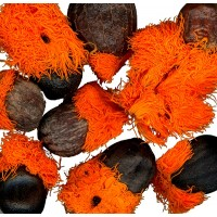 10 Semillas de Strelitzia Nicolai. Ave del Paraiso Gigante