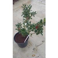 Arbusto de Acebo en Maceta de 20 CM