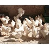 Gallinas Ponedoras Blanca (Huevo Blanco)