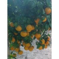 Mandarinas Orri
