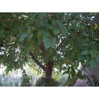 Morera Fruitler