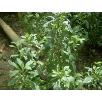 Plantines de Stevia