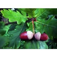 1 Planta de Quercus Robur - Carvallo. Altura