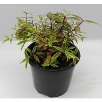 Nombre: Hypericum Tricolor