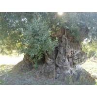 Olivos Centenarios y Millenarios