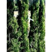 Planta de Cipres Cupressus Estricta O Totem.