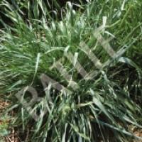 Agropirum Cristalinum, Semilla Graminea Perenne Batlle