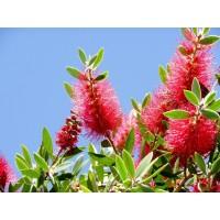 Planta de Callistemon Laevis. Altura: 40/50 C