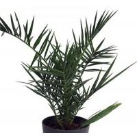 Planta Palmera Canaria  Phoenix Canariensis. Altura 65 - 70 Cm