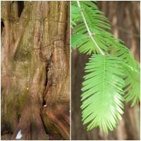 Semillas de Secuoya Gigante, Sequoiadendron Giganteum. 5 Gramos