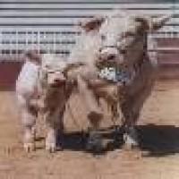 Novillas y Novillos Charoleses, la Mejor Genética Francesa Facilidad de Parto Garantizado