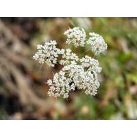Pimpinella Anisum. ANIS Dulce. 5 GR.