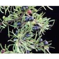 Planta de Rhamnus Oleoides - Espino Negro. 40
