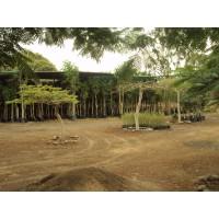 Venta de Plantones de Ficus para Arborizacion de Avs, Etc.