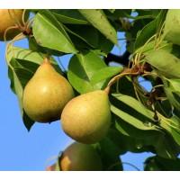 Frutal Pera Gallega de San Juan. Perucos.  95