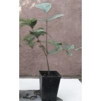 Planta de Nogal Común, Juglans Regia Sp.