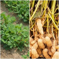Semillas de Cacahuete, Mani. Arachis Hypogaea
