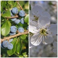 Semillas de Endrino. Prunus Spinosa. 250 Gramos